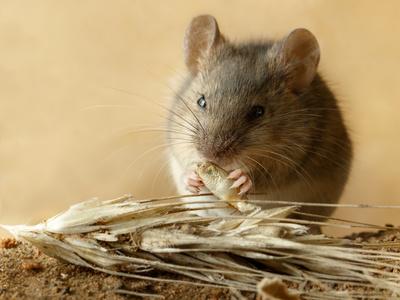 ネズミ アレルギー
