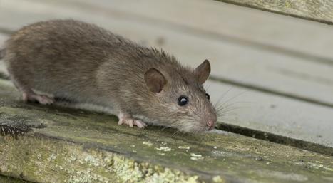 ネズミ駆除業者